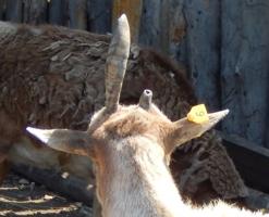 неОДНОРОГИЙ козел ( вид сзади)