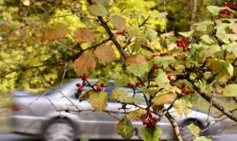Осень на фоне СТАРОГО СЕРОГО японца