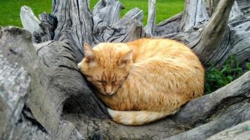Старый, серый пень  или Котогнездо для рыжего кота