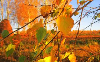 Пожелтели листья на березке