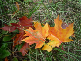 Листья кленовые