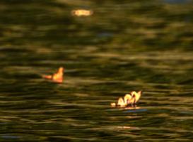 ветер гоняет листья по воде