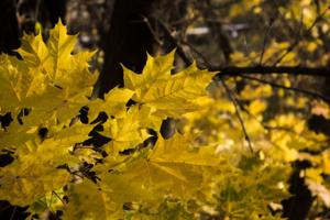 Желтый лист кленовый...