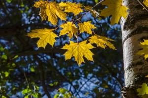 Листья клена...