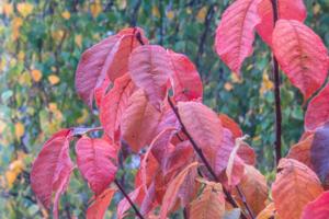 Листья черемухи