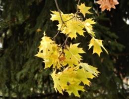 Желтый лист кленовый вчера...