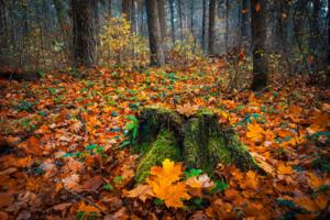 Старый пень в осеннем лесу
