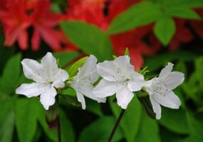 Белые и красные рододендроны