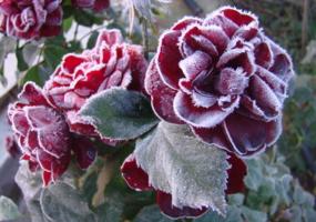 Розы на морозе