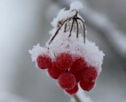 Белый снег на грозди красных ягод