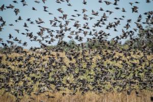 Снова птицы в стаи собираются...