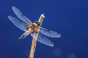 Стрекотунья-стрекоза
