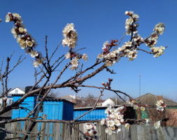 Абрикоса цвет