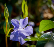Барвинок - расцветает в числе первых лесных цветов