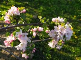 Яблонька в цвету