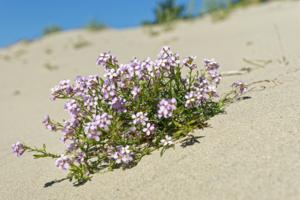 И на песке растут цветы