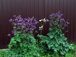 Колокольчики мои, цветики степные!