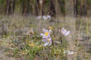 Самые первые весенние цветы в лесу - сон-трава.