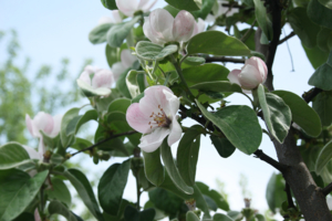 крупные будут яблоки