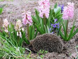 Весна пришла, проснулись ёжики
