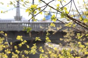 Клен под мостом