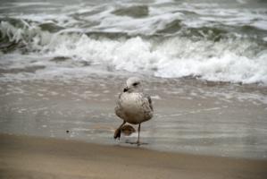 """""""Чайка ходит по песку - моряку сулит тоску"""""""