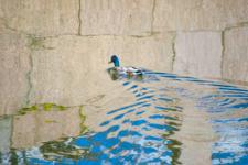Селезень в Адмиралтейском канале