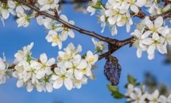 Красивая ветвь сливы весной.Упс!!!