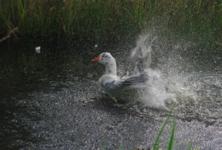 Купание белосерого гуся