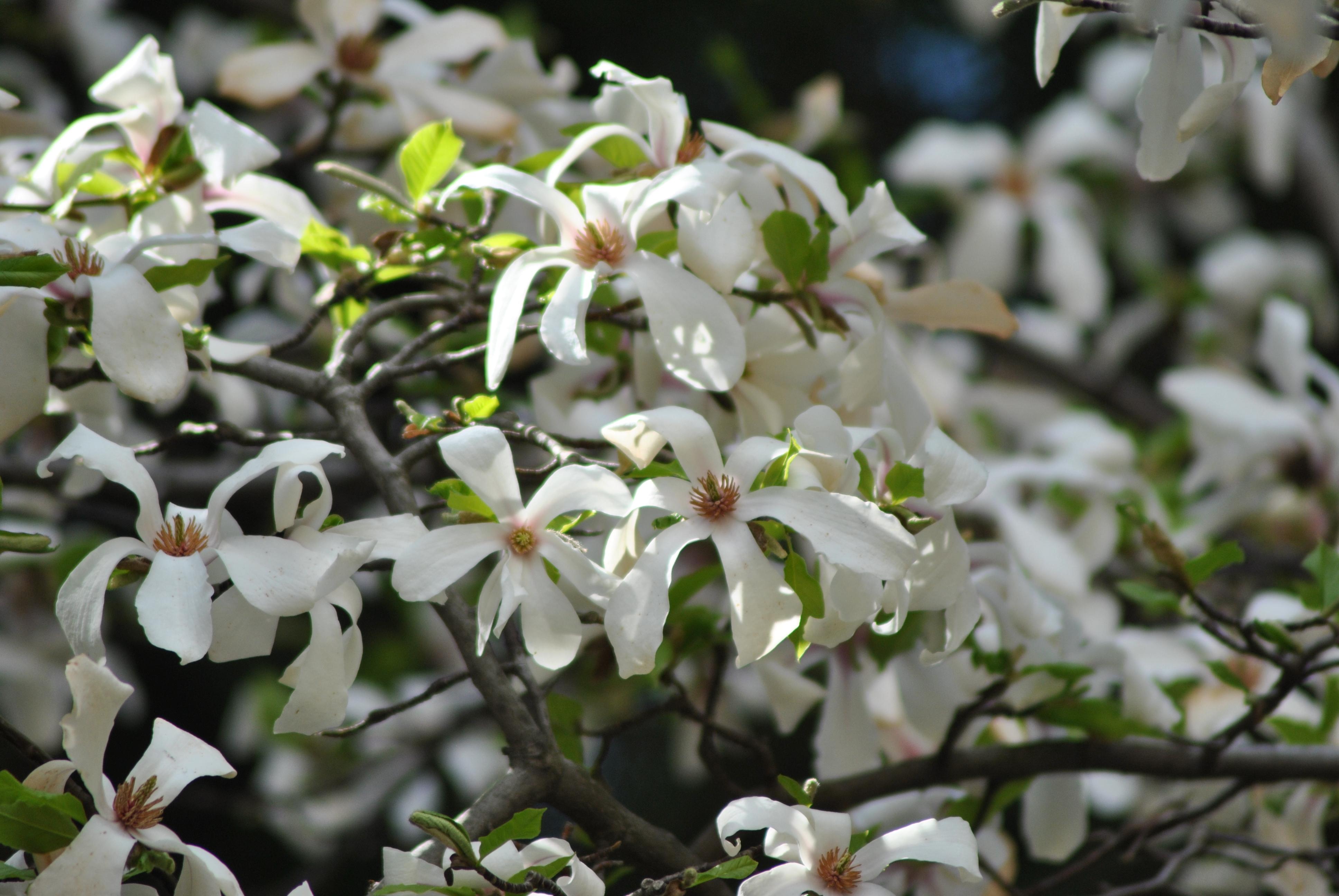 лишь немного цветущие деревья в сочи фото том
