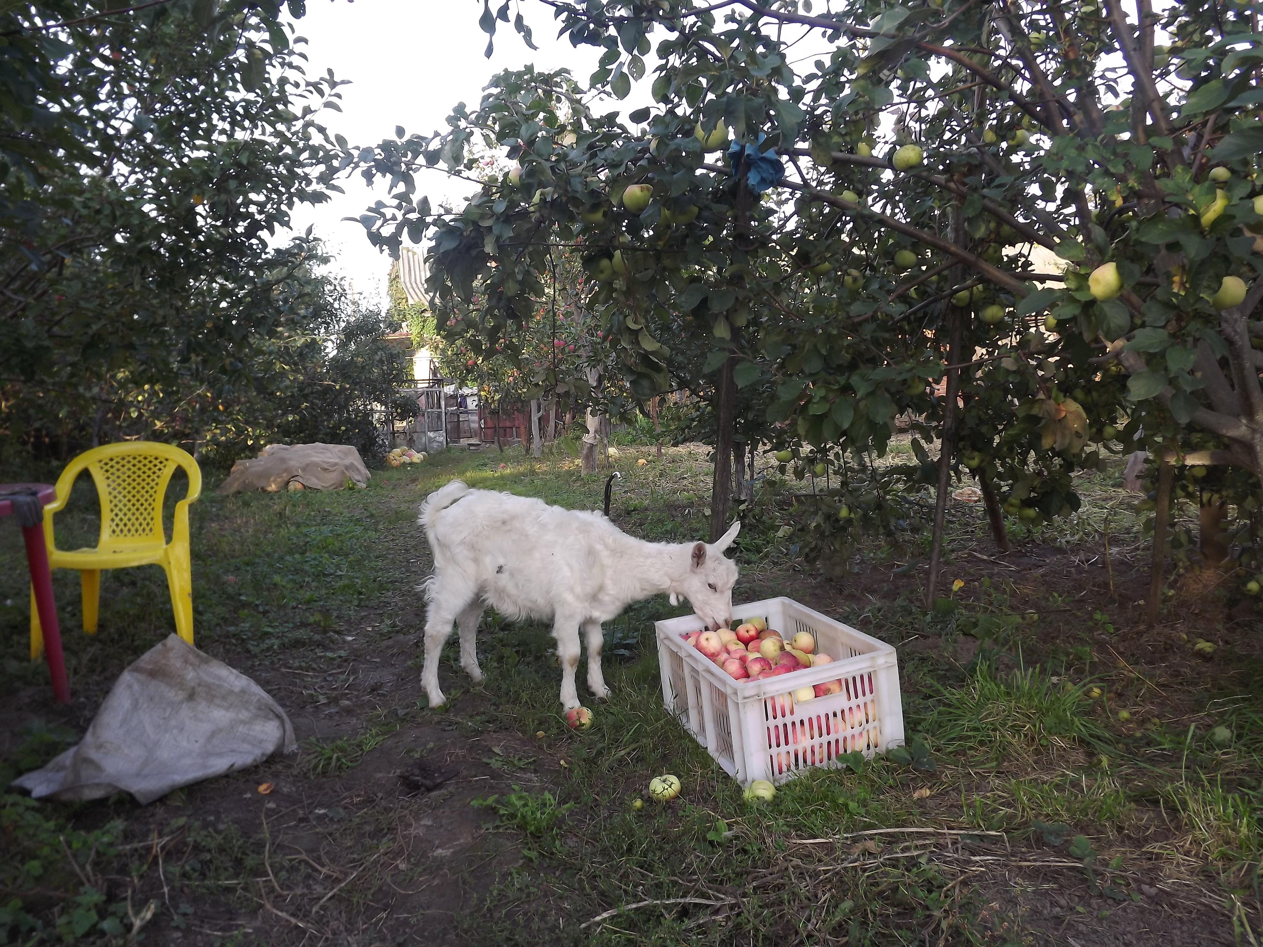 белые, отчаянно пустить козла в огород картинки далекие