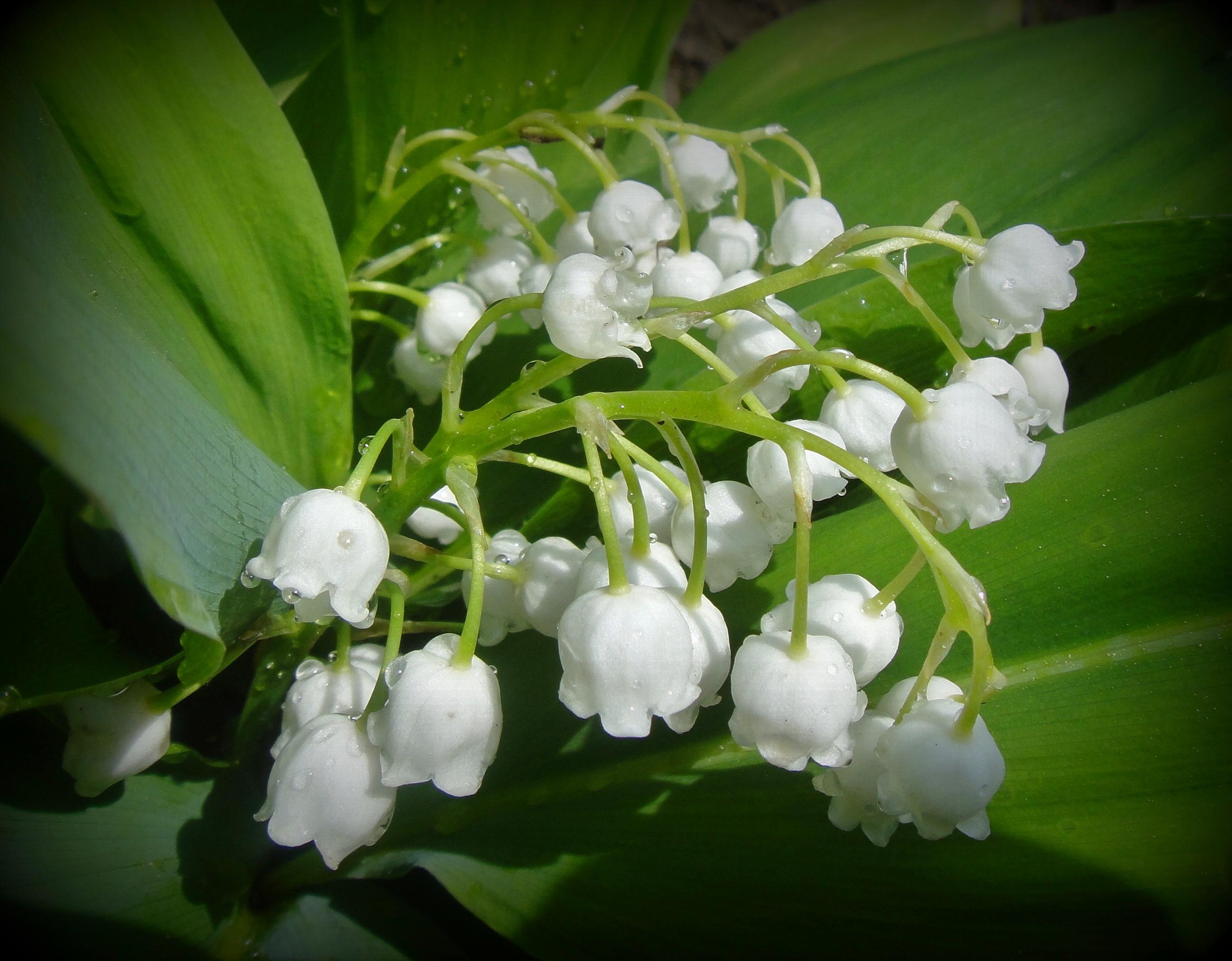 шикарная ландыш серебристый цветок фото скажу рассуждать составе