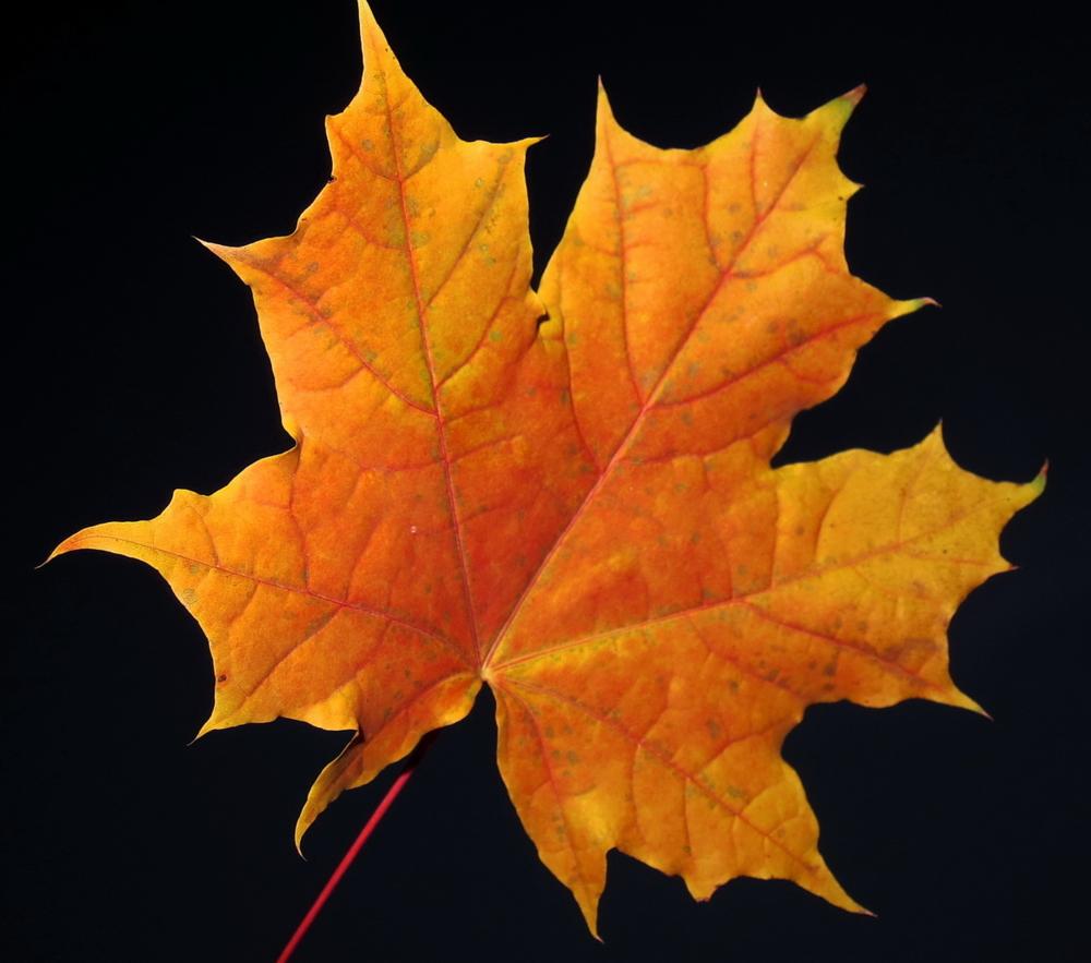 Осенние листья клена фото