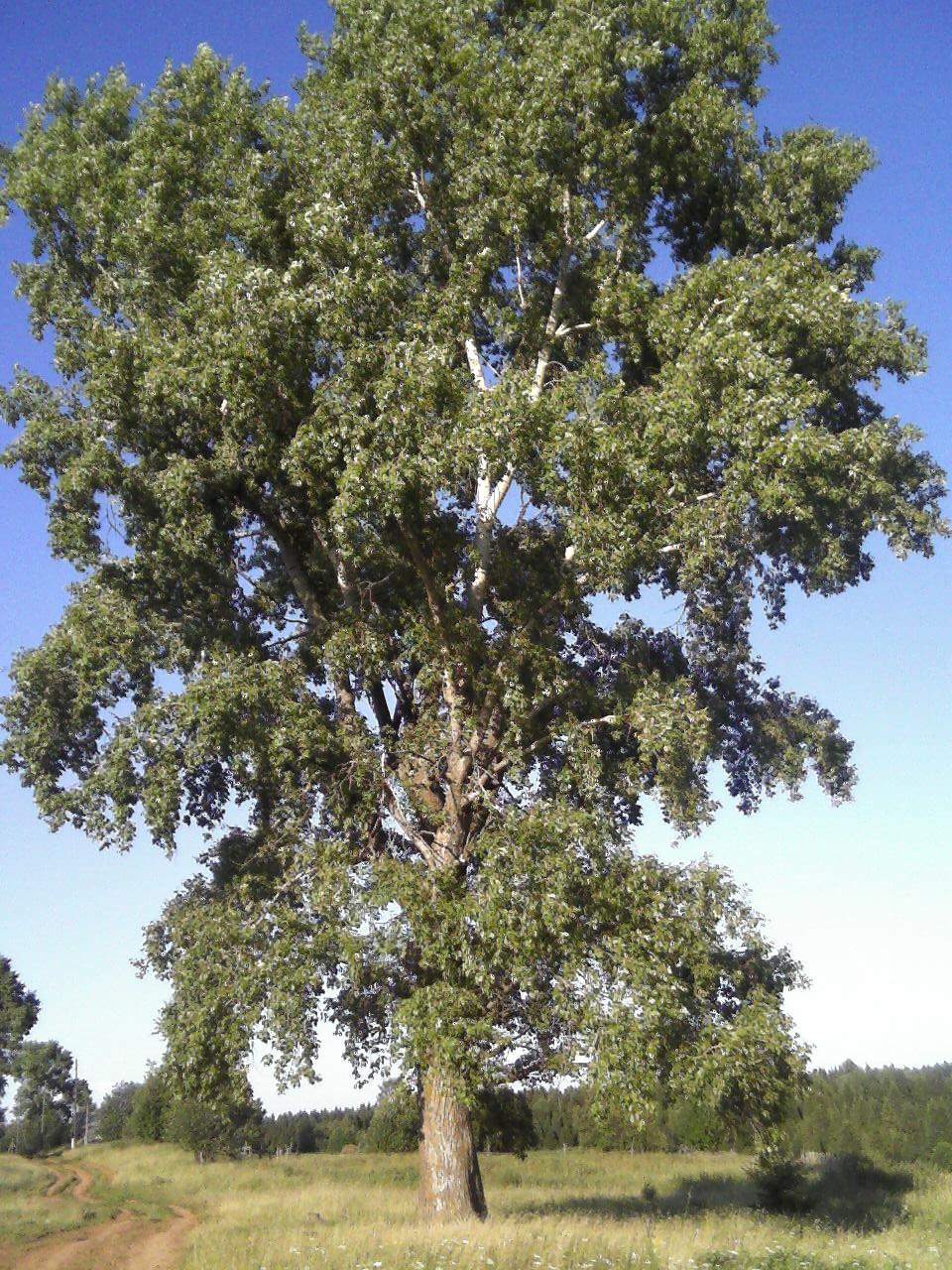 тополь дерево картинка для просмотра забывайте делится