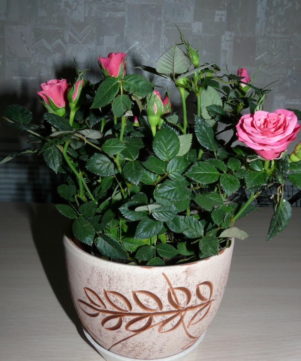 Уход за комнатными розами в картинках