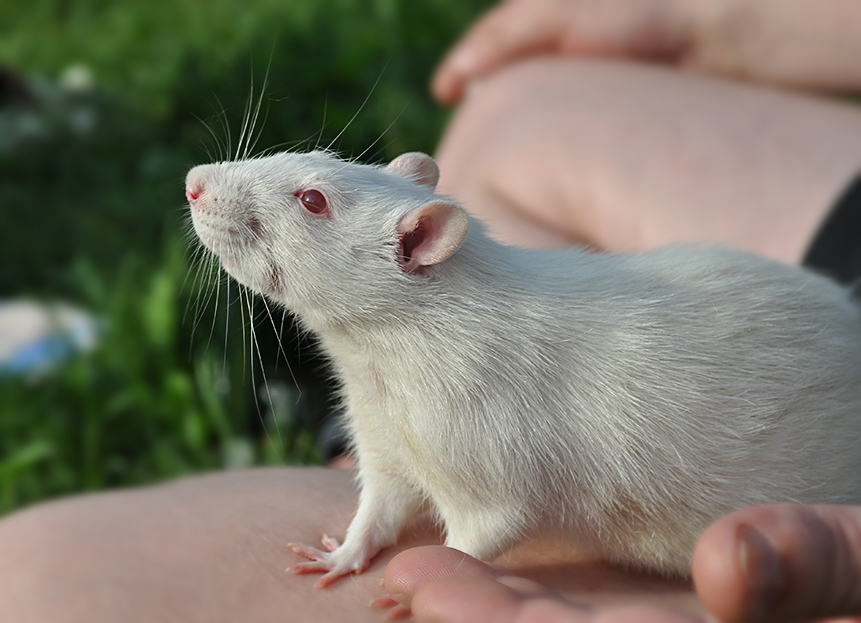 Картинки с домашними крысами