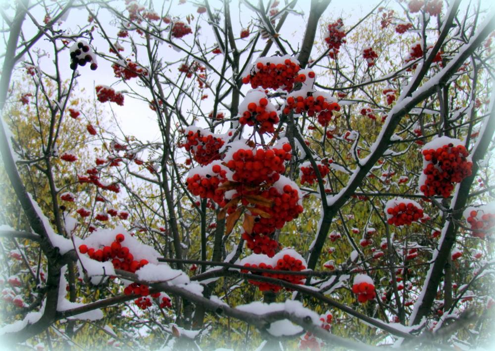 необходимо картинки с рябиной вот и зима красавицы безупречной внешностью