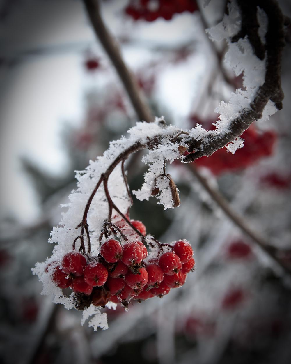 Картинка с рябиной зимой