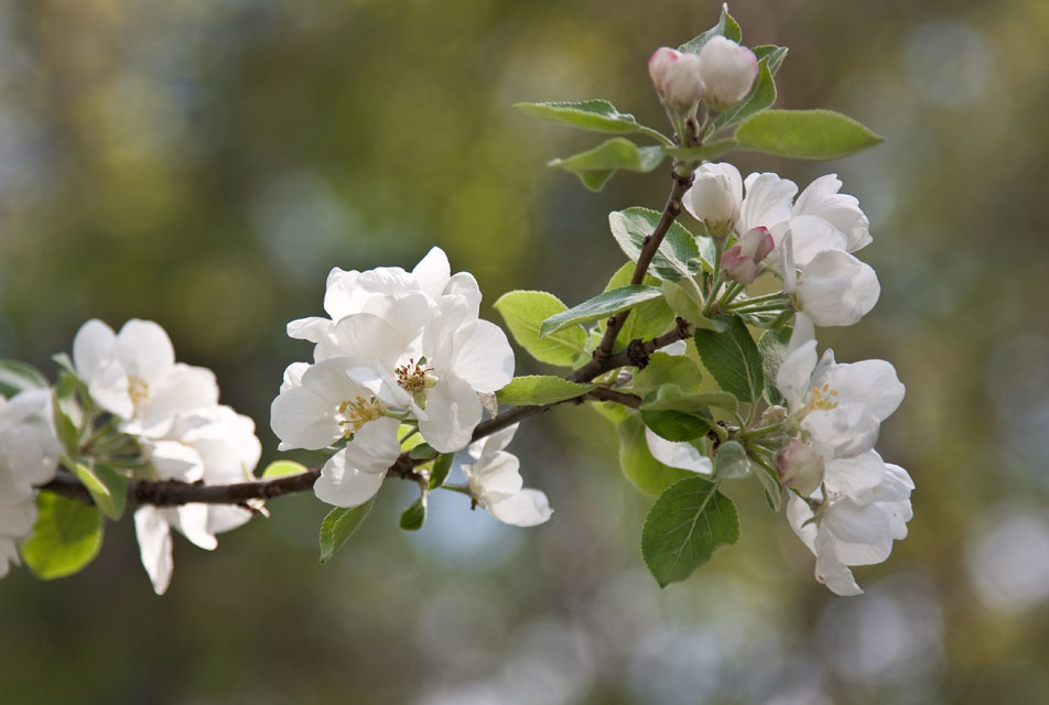 веточка цветущей яблони это, чтобы дальнейшем