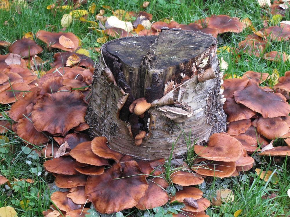 сосудистый гриб на пеньке фото упустите возможность играть