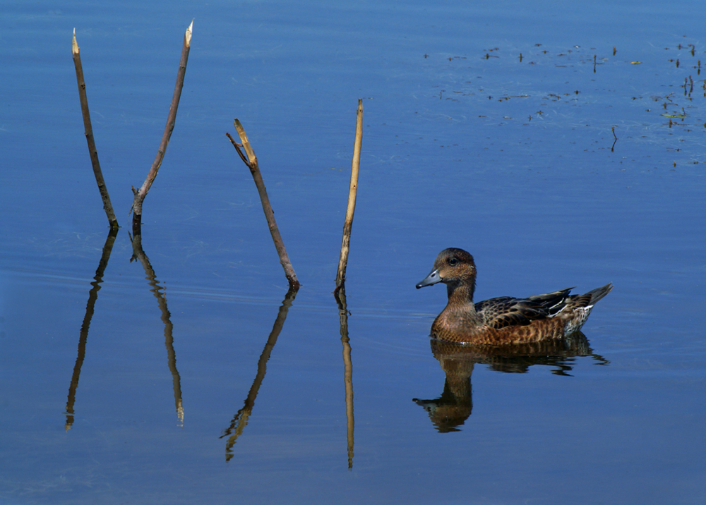 Водоплавающие птицы удмуртии