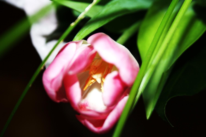 Тюльпан и его листья.