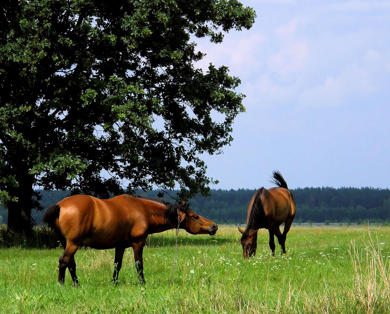 конячки
