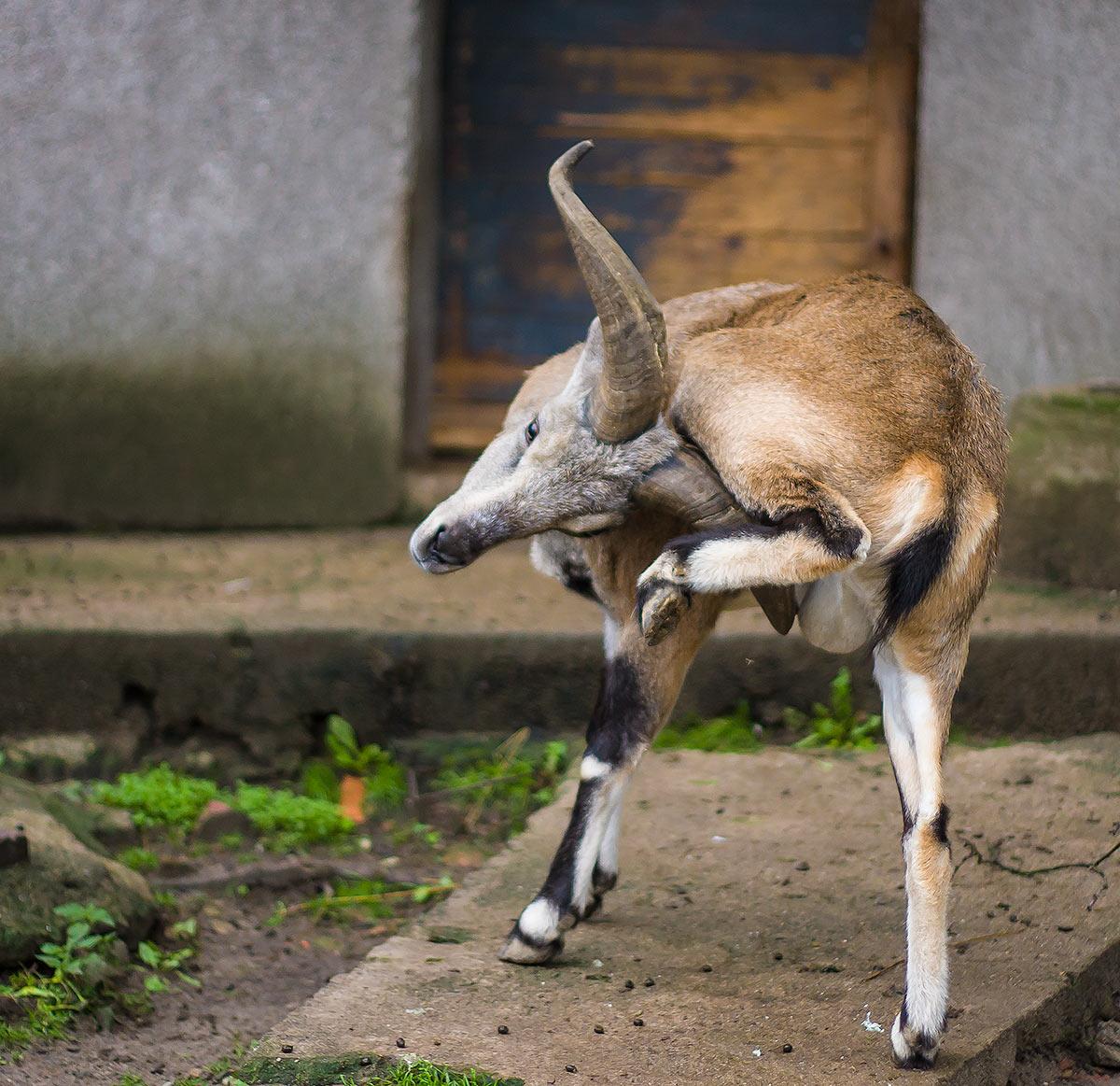 Зачем козлу рога