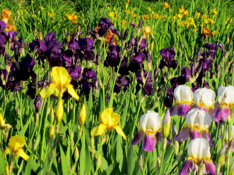 Ирисы ботанического сада