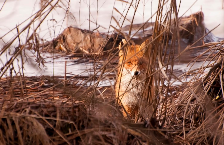 Весенний лис