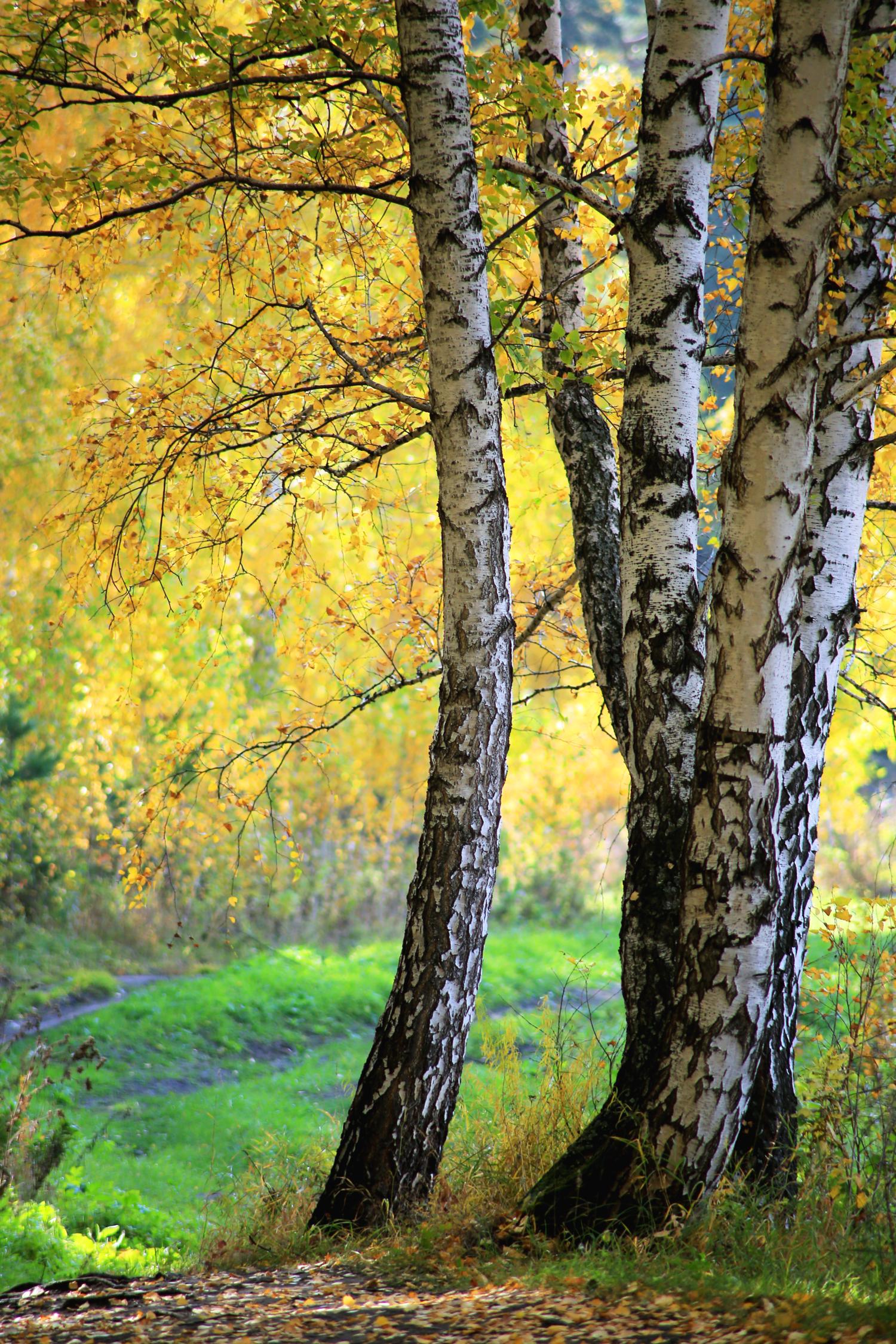 Картинки осень с березами вертикальные
