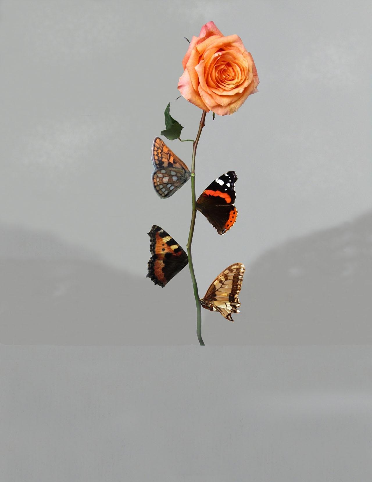 Фрагмент из Salvador Dalí, Rosa Papillonaea