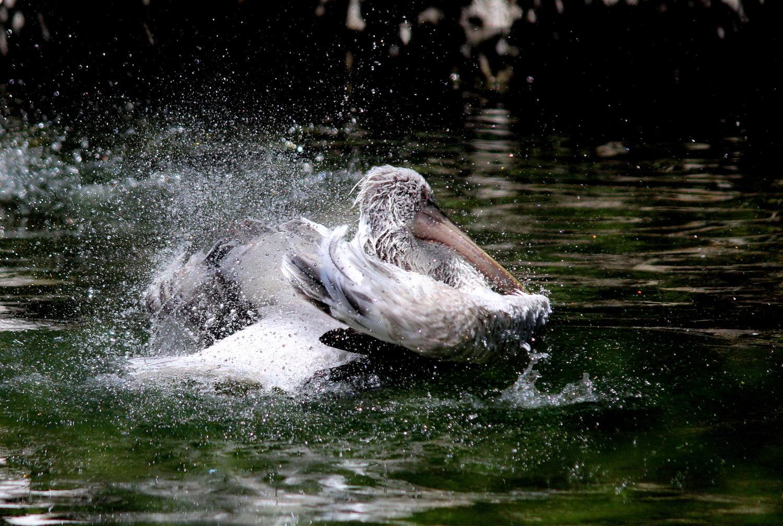 Пеликан купается