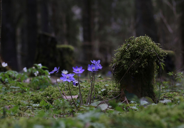 В темно-синем лесу...